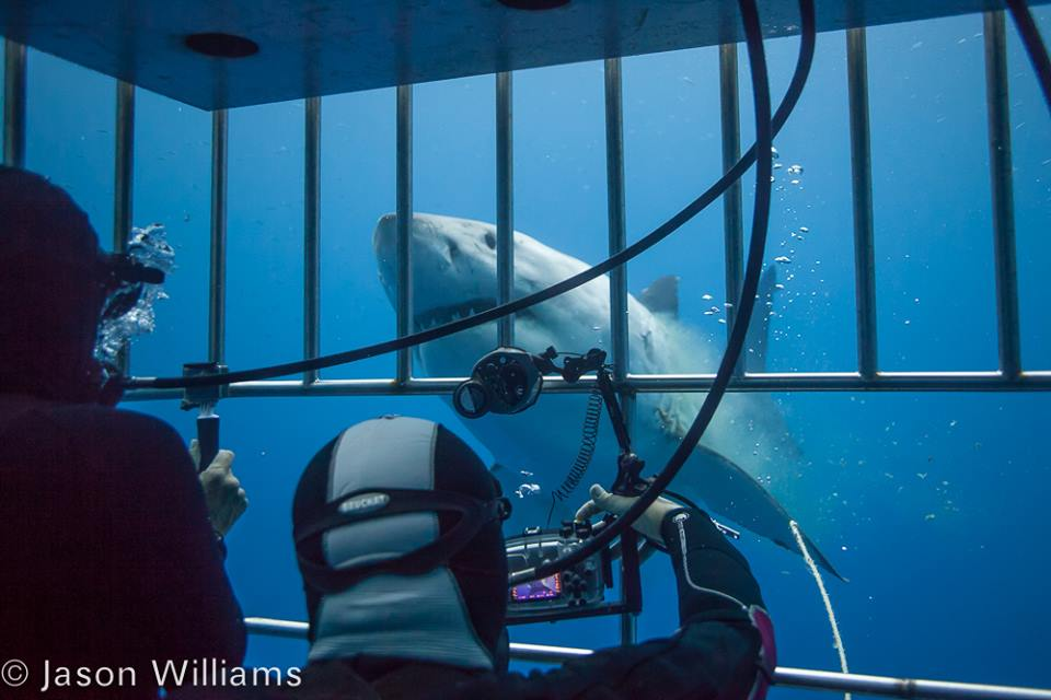 Great white shark curiously approaching divers in a cage. The males tend to be more active and curious than the females. Image by Jason Williams