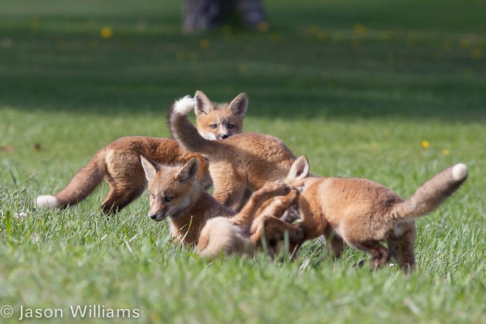 Fox kits playing outside their den in Star Valley Wyoming. Image by Jason Williams