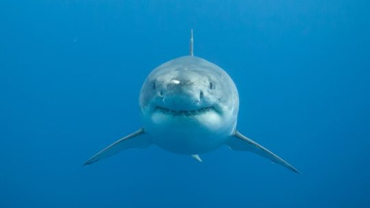 A Great White Shark Looks Straight At The Photographer Off The Isla De Guadalupe In Mexico