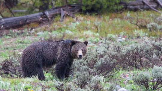 A Grizzly Bear Sow Wanders Through Sagebrush In Grand Teton National Park