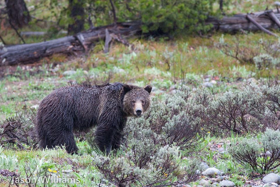Grizzly in Grand Teton National Park