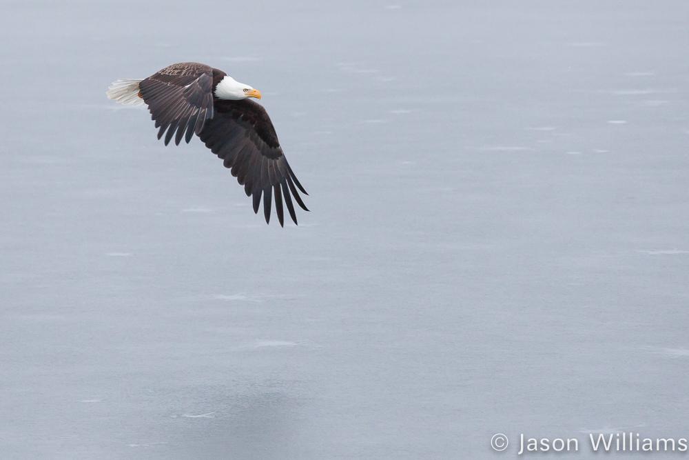 A Bald Eagle Flies Over A Snowy Landscape In Jackson Hole