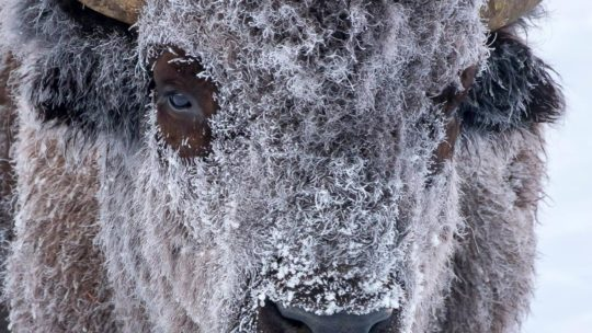 A Frost Covered Bison Conserves Energy In Grand Teton National Park