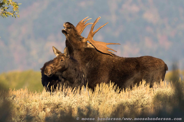 A Bull Moose Pairs Off With A Cow Moose During Mating Season