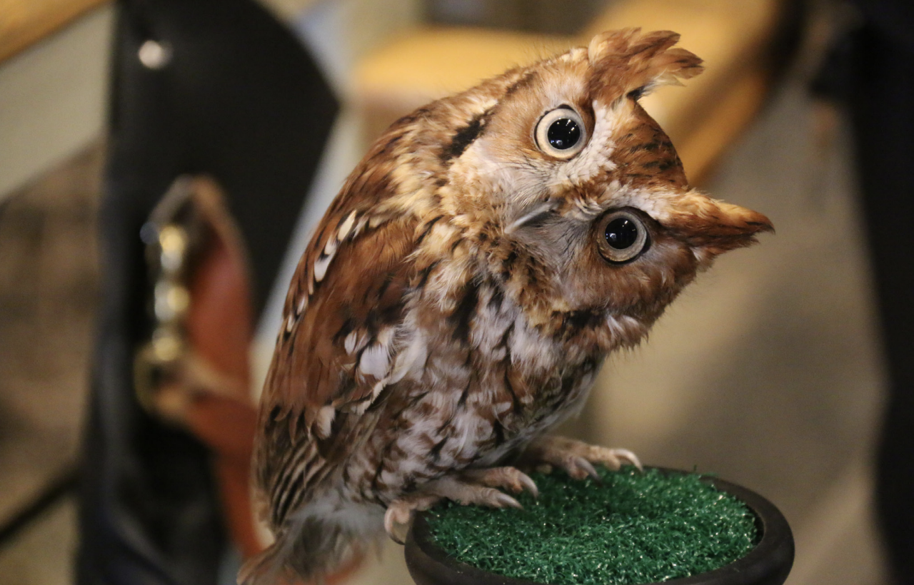 A Rescued Eastern Screech Owl At Teton Raptor Center Looks With Head Tilted At A Visitor