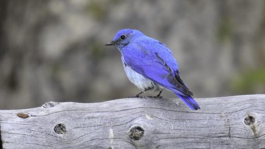 A Mountain Bluebird Perches On A Log