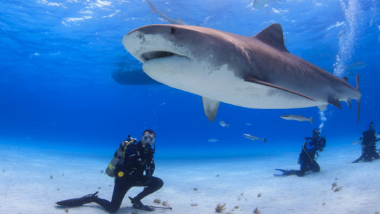 A Diver Pauses On The Sea Floor As A Large Female Tiger Shark Swims Past