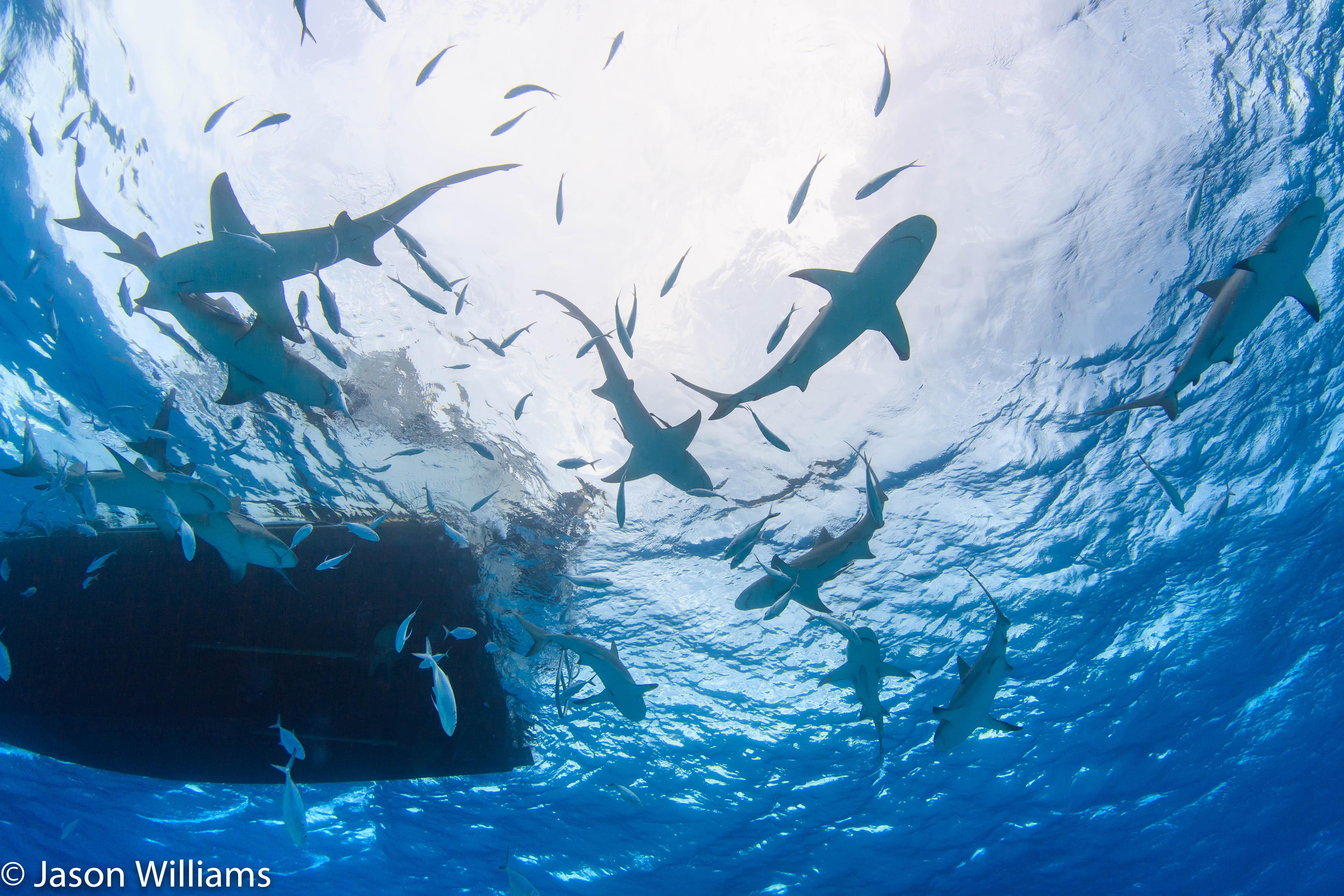 Dozens of reef and lemon sharks