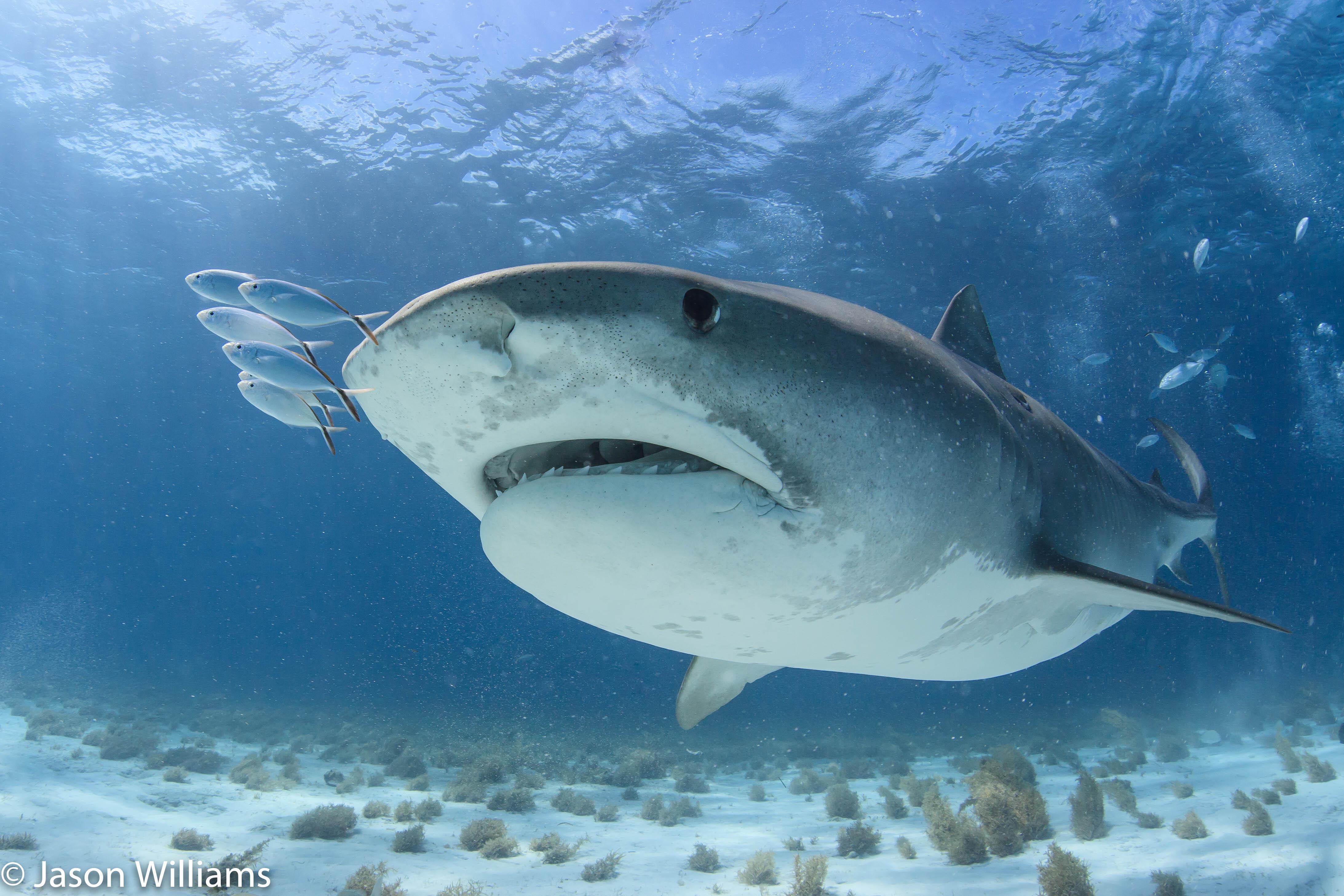 Pilot fish with shark in the Bahamas