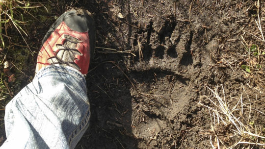 Jason Williams Measures His Shoe Size Against A Grizzly Bear Print in Grand Teton National Park
