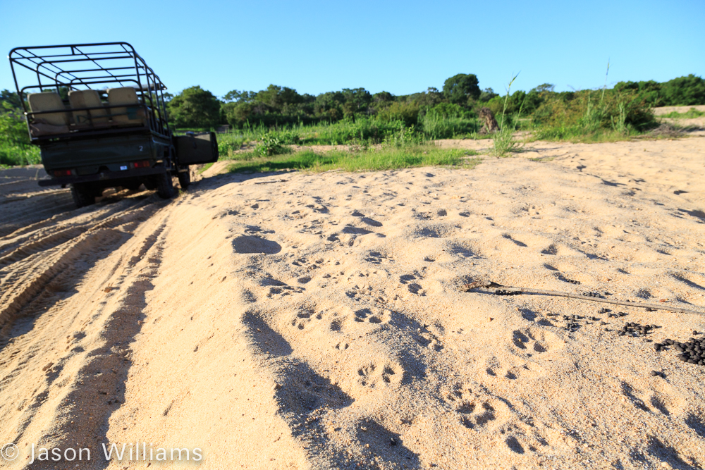 Lion tracks along the Sand River just below the Inyati Game Lodge in Sabi Sands, South Africa.