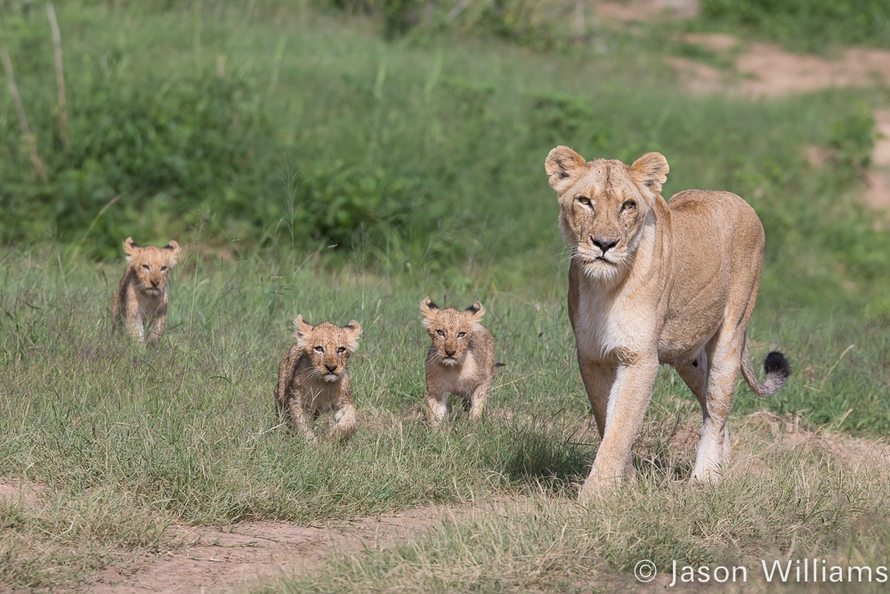 lioness and her cubs along the Sand River.