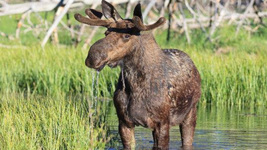 bull moose along the snake river in jackson hole