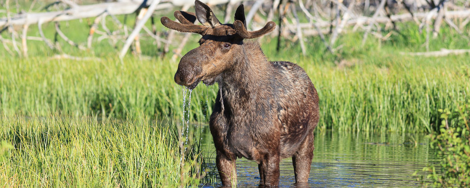 Bull Moose standing in water along the Snake River in Jackson Hole.
