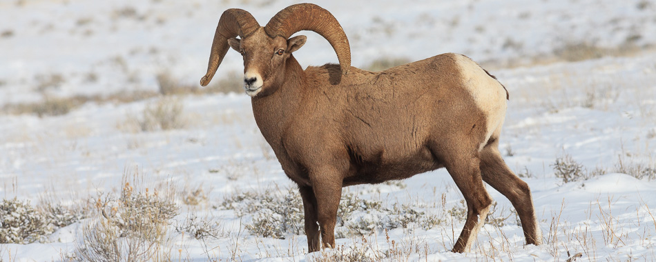 Bighorn Sheep are common to see on our winter wildlife tours.