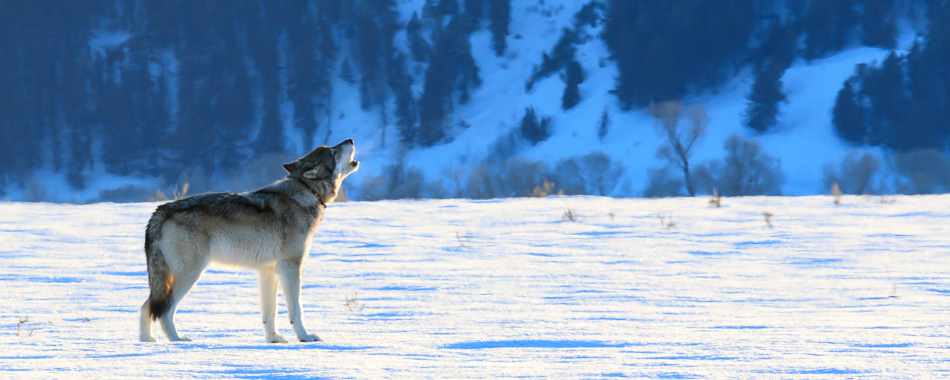 3 Day Winter Wolf Safari Jackson Hole Wildlife Safaris