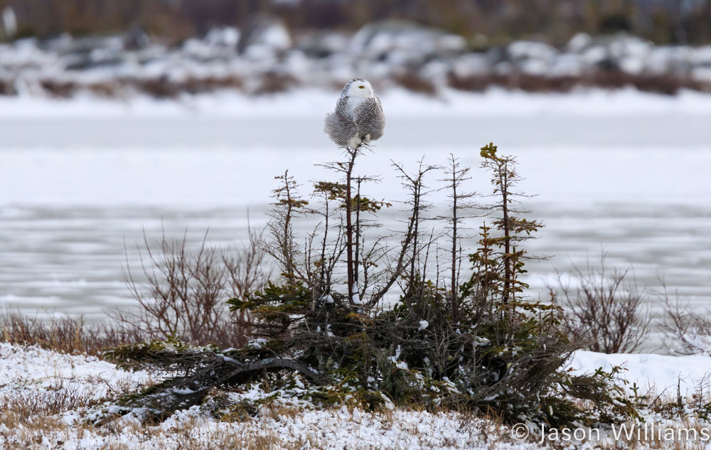 Snowy Owl perched in a tree near Churchill, Manitoba along the Hudson Bay.