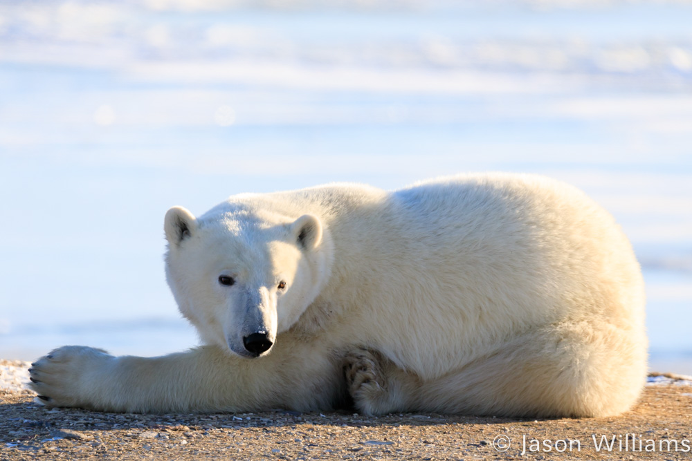 Polar bear on the ground in Churchill Manitoba.