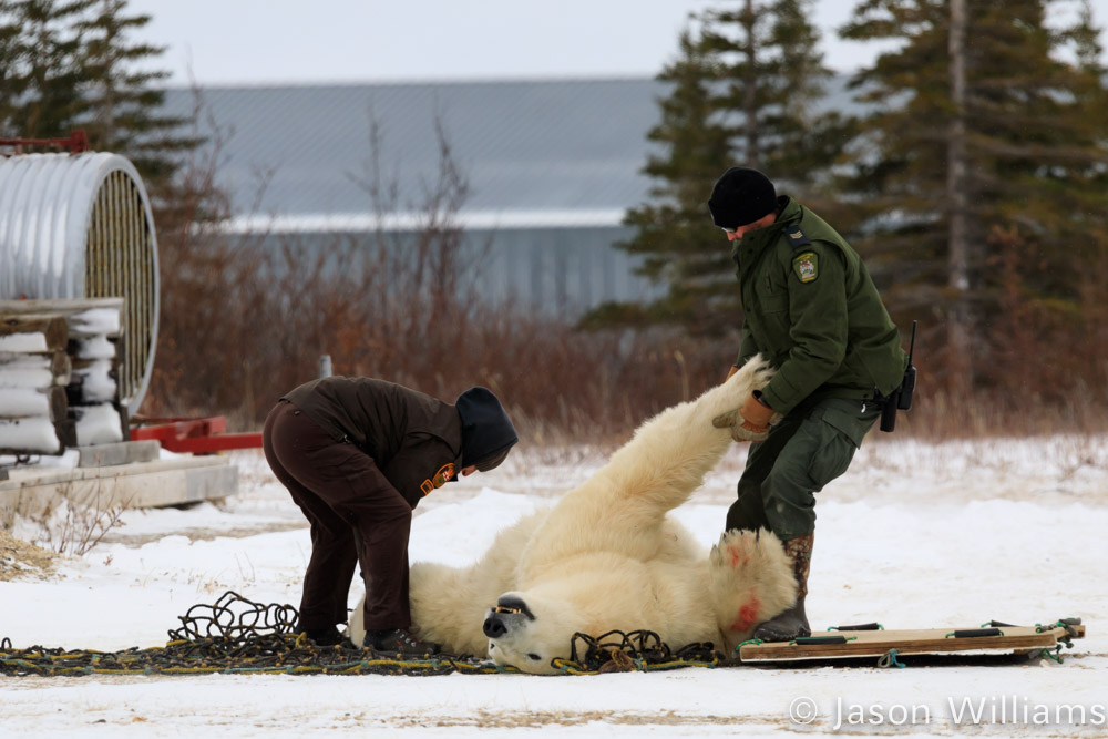 Polar Bear being moved by wildlife managers