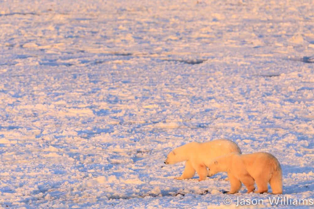 Two polar bears walking on sea ice