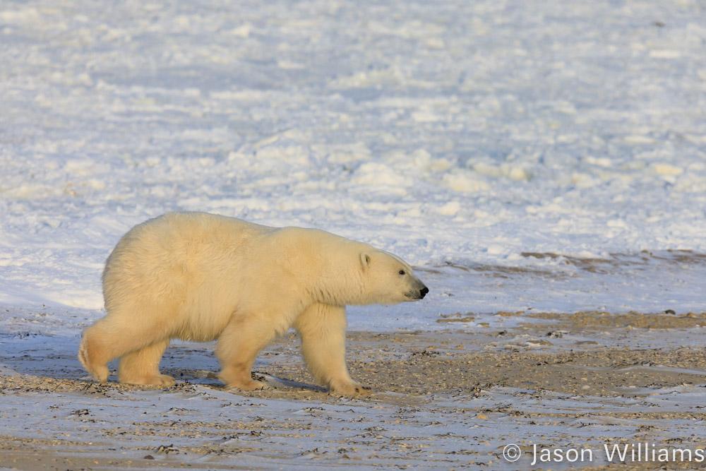 Polar bear walking along beach near churchill manitoba