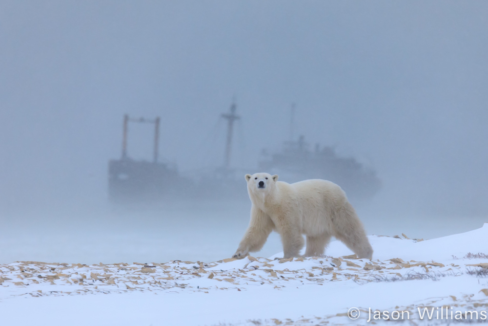 Polar bear in fog with a shipwreck in the background.