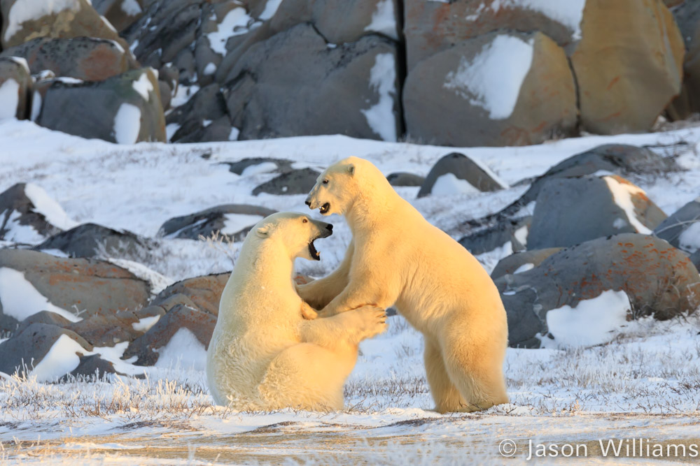 Polar bears playing with rocks behind.