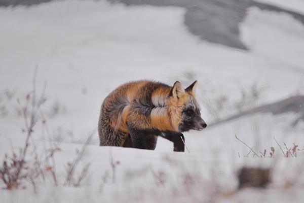 cross fox in churchill manitoba