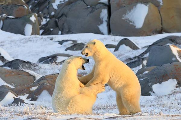 polar bears in churchill manitoba