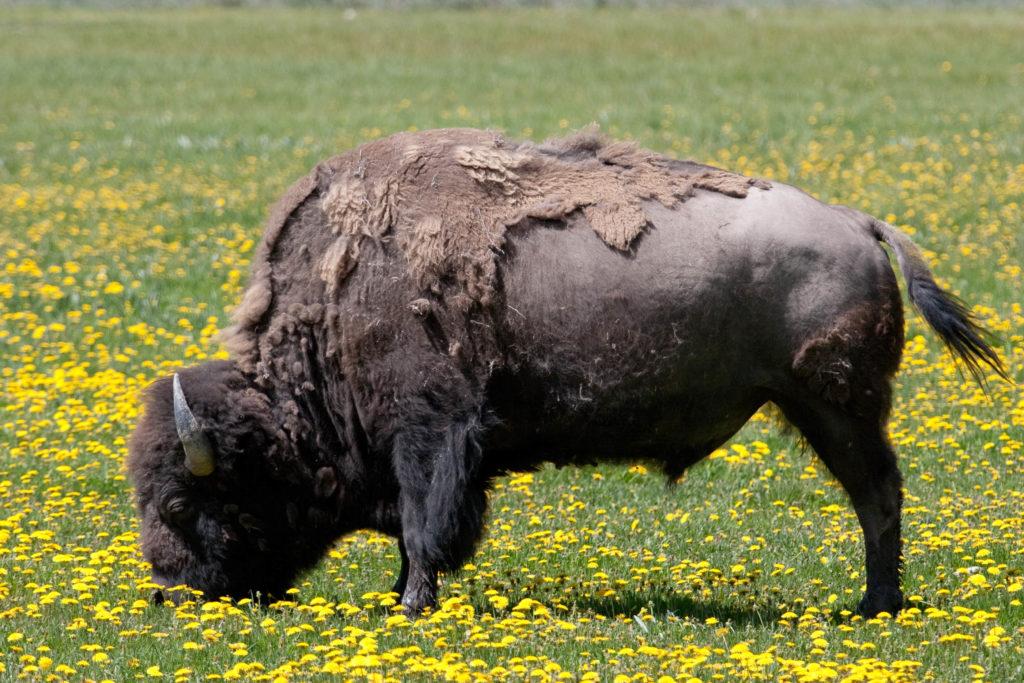 jackson hole buffalo