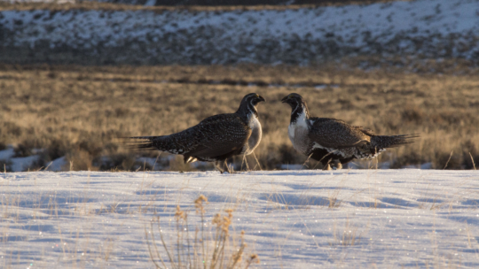 Two males vie for female attention at a greater sage-grouse lek site.