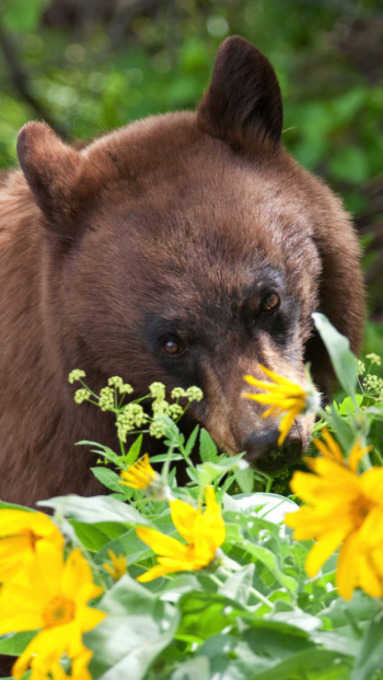 black bear playing in yellow flowers