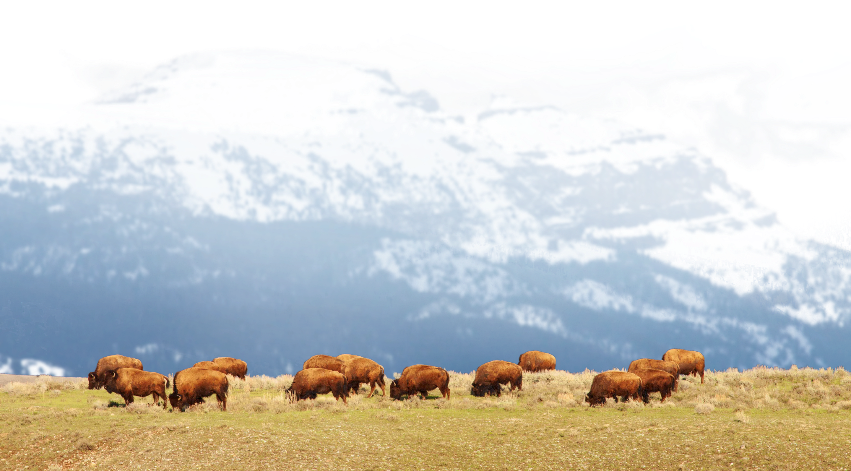 Bison on a ridge in Jackson Hole
