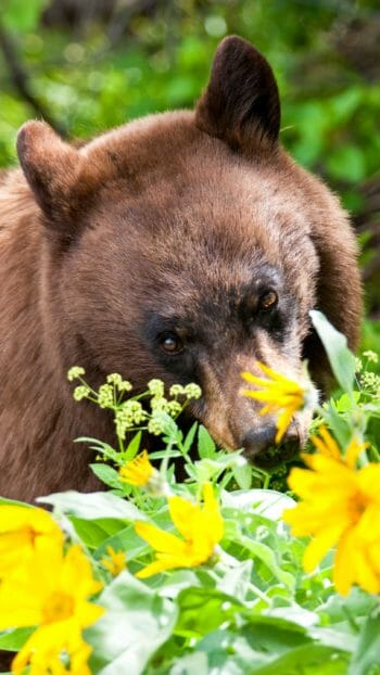 American black bear grazing on flowers in Jackson Hole