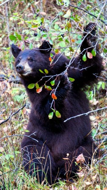 American black bear grabbing tree branch in Grand Teton National Park