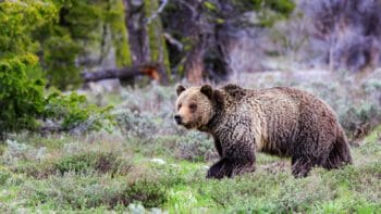 Grizzly bear walking in Grand Teton National Park, Jackson Hole Wyoming.