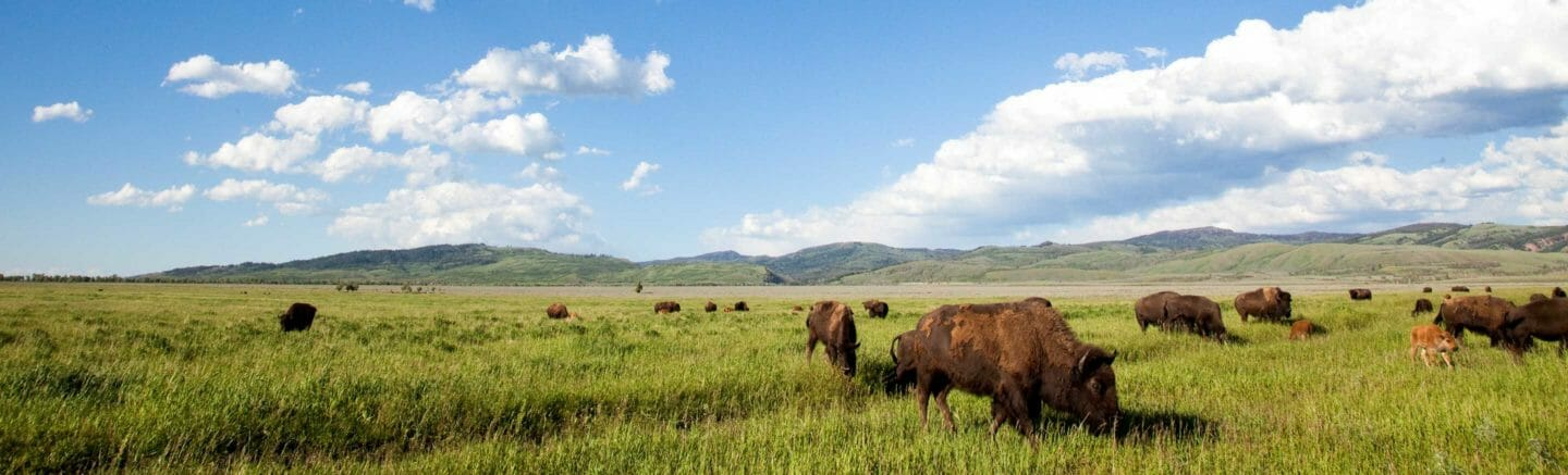 bison grazing in Jackson Hole