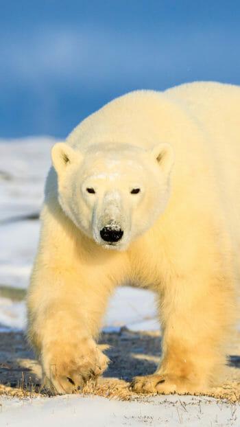 polar bear walking on snow near Churchill