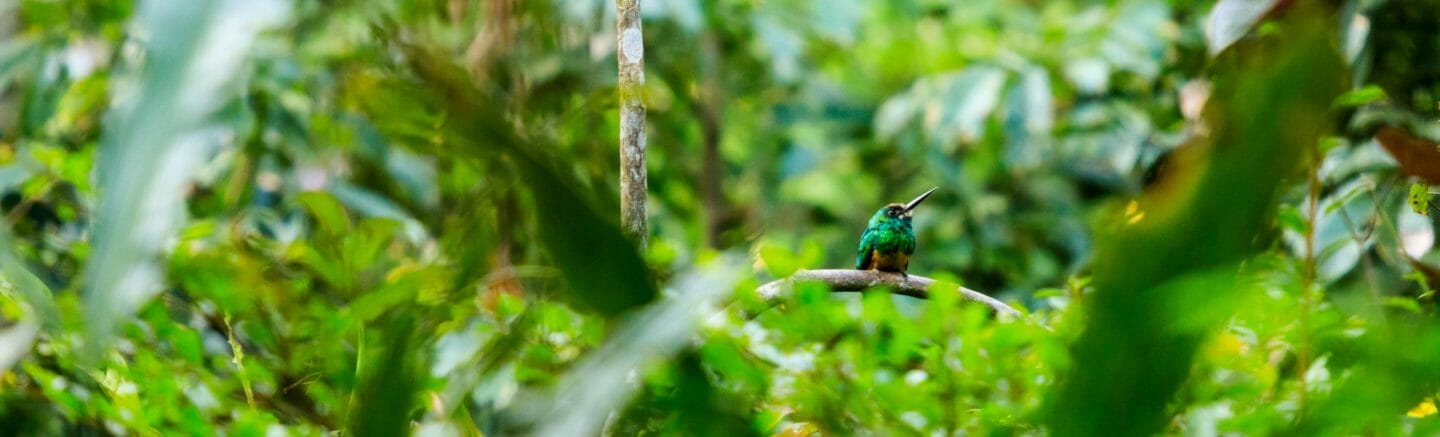 small bird in the Amazon Rainforest, Ecuador.