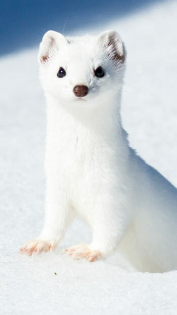 Weasel in white winter coat in Yellowstone