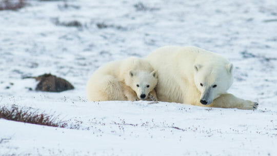 Polar bear sow and cub resting near Churchill Manitoba