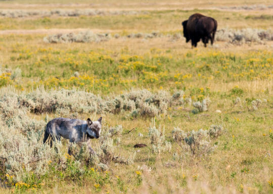 A wolf walking past a bison in Yellowstone National Park's famous Lamar Valley.