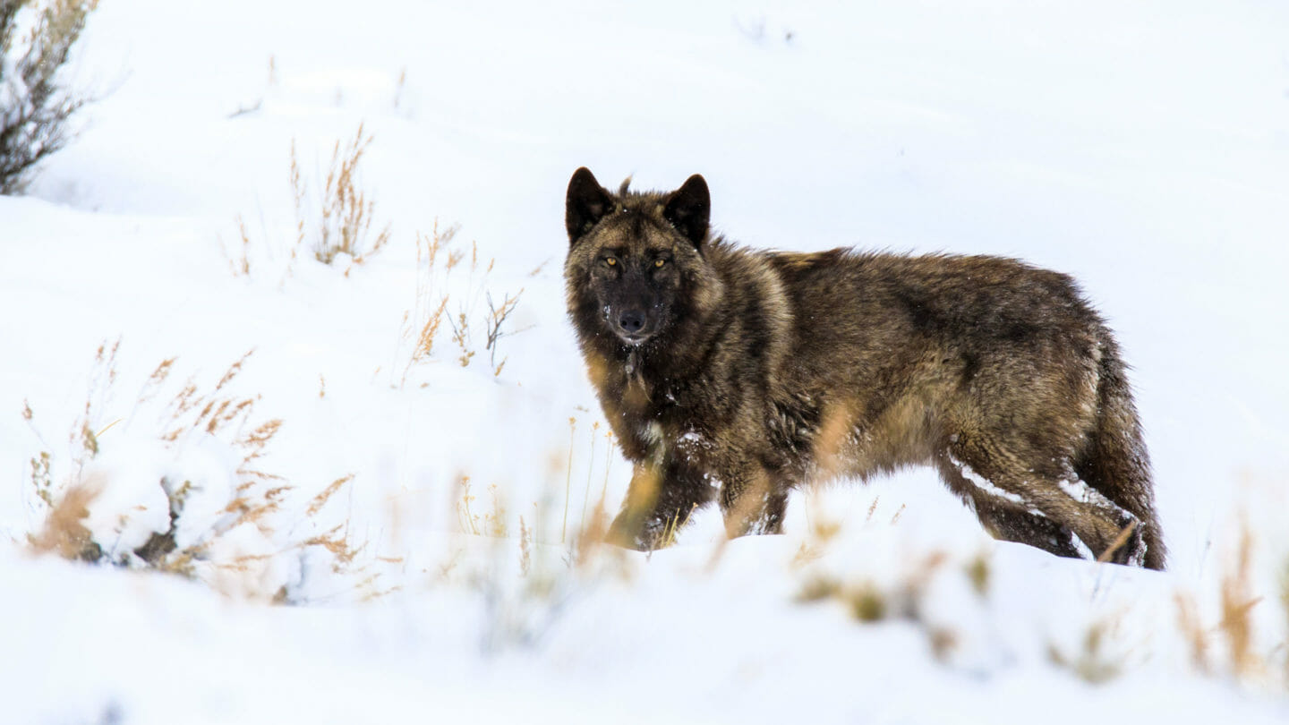 A Dark Brown Gray Wolf Hunts In The Snow Near The National Elk Refuge In Jackson Hole