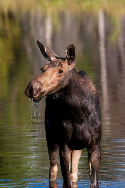 Moose in pond Grand Teton National Park
