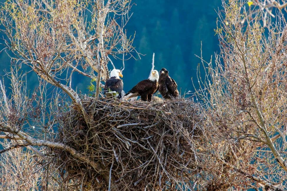 Bald Eagles in Nest Along the Snake River in Wyoming