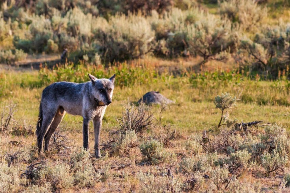 Grey Wolf in Yellowstone National Park's Lamar Valley
