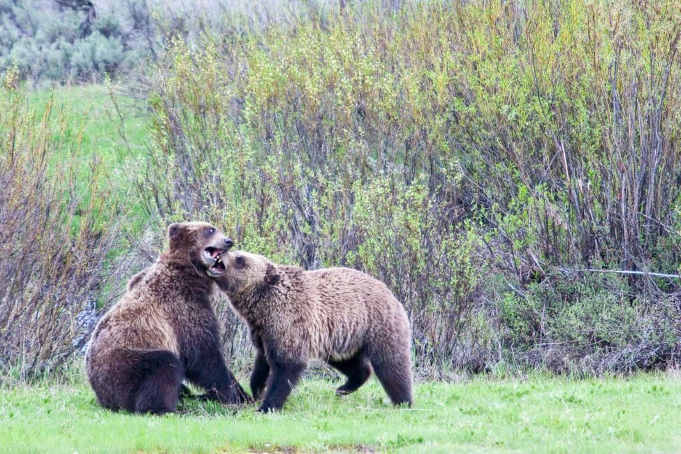 Grizzly Bears playing in Grand Teton National Park