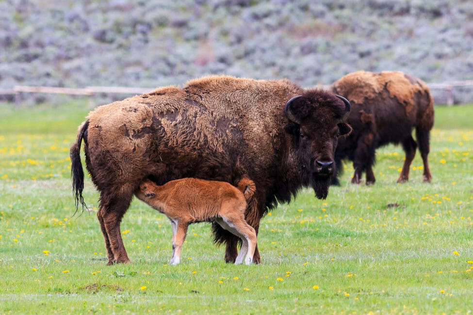 Bison calf nursing in Grand Teton National Park, Wyoming.