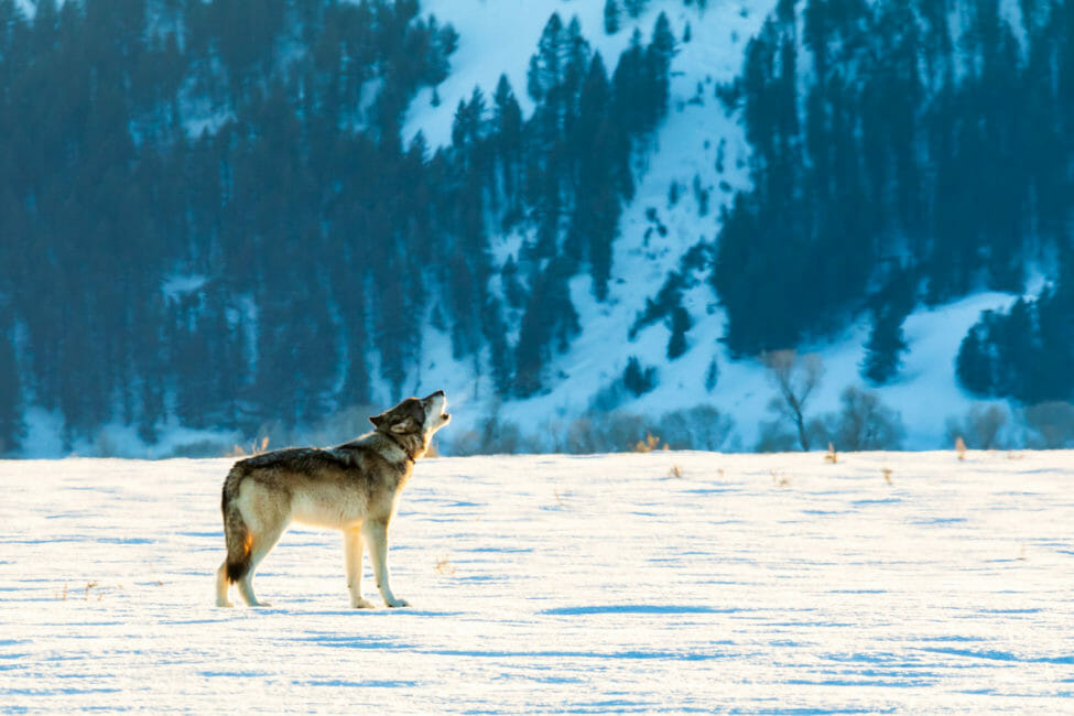 Wolf Howling in Grand Teton National Park