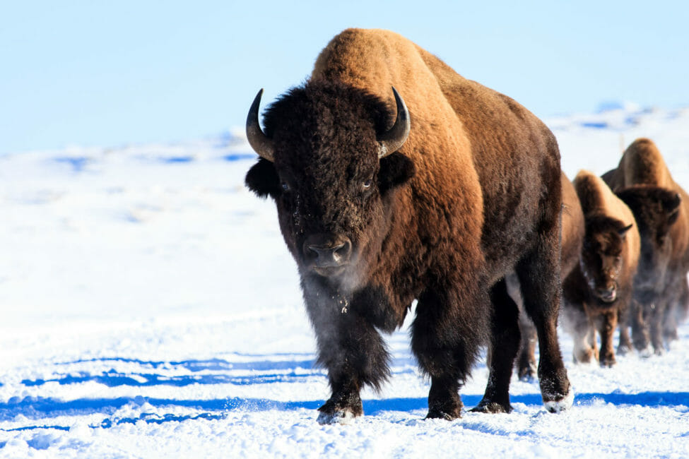 Bull Bison in Yellowstone National Park